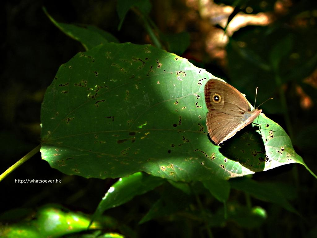 http://www.whatsoever.hk/butterflies/Banded.Tree.Brown.JPG