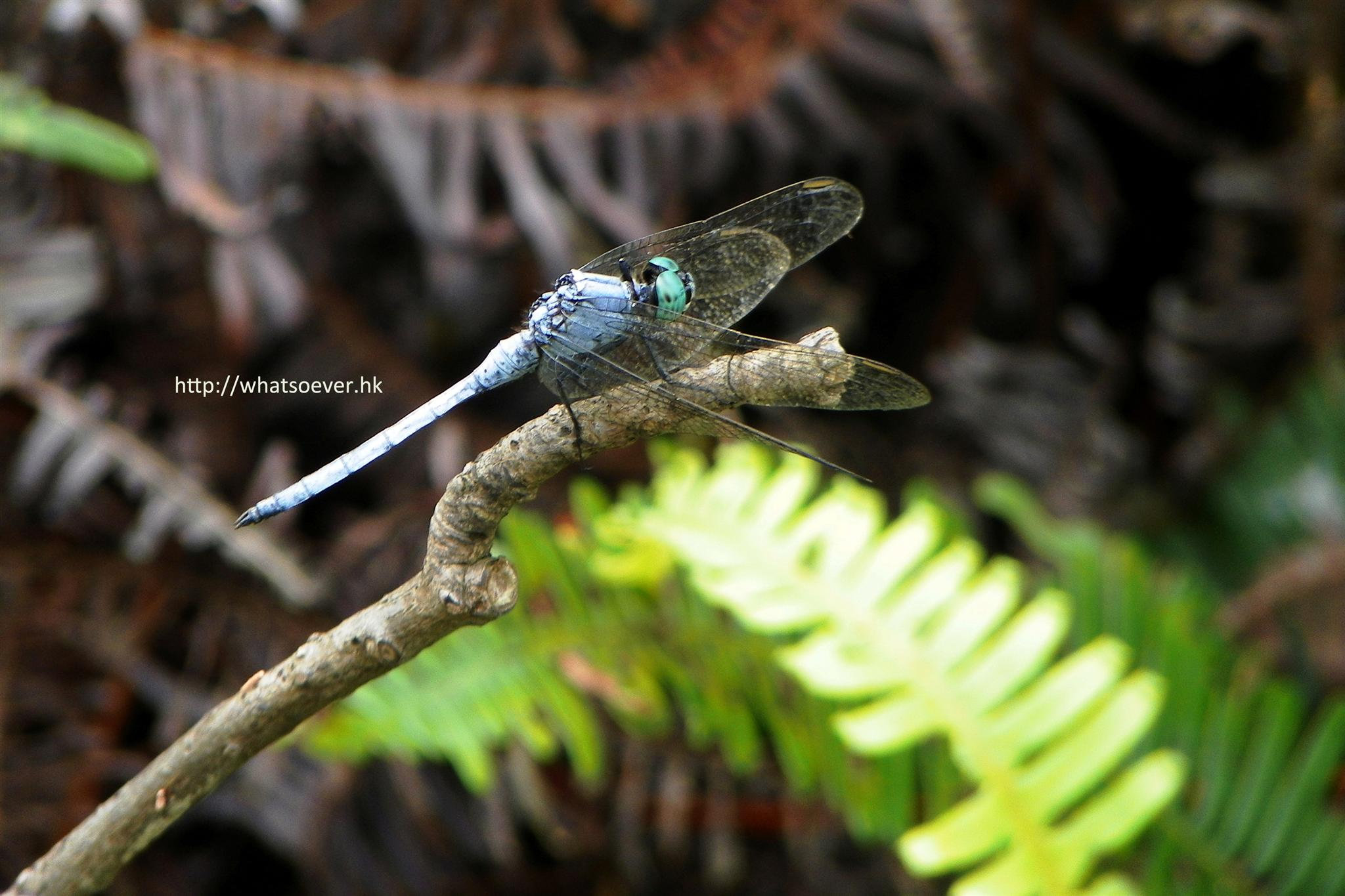 http://www.whatsoever.hk/dragonfly/Blue.Dasher.(Dragonfly.In.Blue).jpg