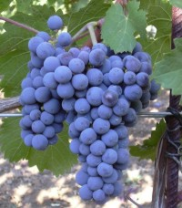http://www.whatsoever.hk/wine/grape.cabernet.franc.jpg