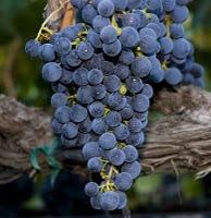 http://www.whatsoever.hk/wine/grape.merlot.jpg